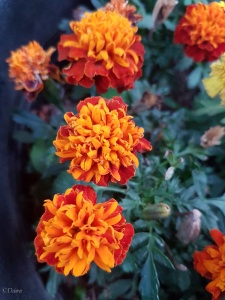 Marigold flowers from my garden, used for dying with along with aster flowers