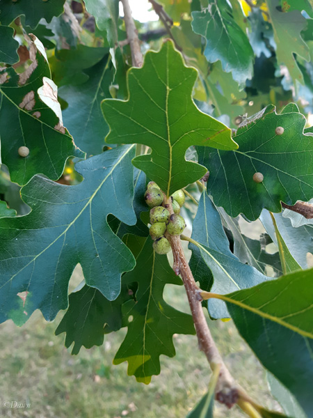 Green oak galls