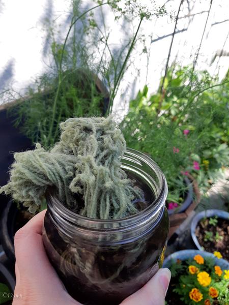 Lupine dyed handspun wool yarn coming out of the mason jar 'dye pot'.